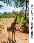 giraffe with height. giraffe...   Shutterstock . vector #678394648