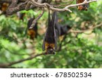bats on the tree  lyle's flying ... | Shutterstock . vector #678502534