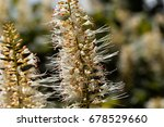 Small photo of Flowers of a bottlebrush buckeye, Aesculus parviflora.