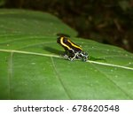 poison dart frog  also known as ... | Shutterstock . vector #678620548