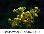 Small photo of Cluster of bright yellow flowers, endemic wild plant of Canary islands, Sonchus acaulis