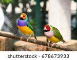The Gouldian Finch Or Erythrura ...