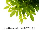 green leaf on the branches... | Shutterstock . vector #678693118