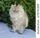 Persian Cat Golden Chinchilla