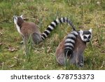 the ring tailed lemur  lemur... | Shutterstock . vector #678753373