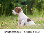 Puppy Jack Russell Terrier Is...