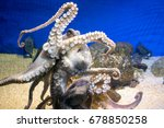 common octopus in large sea...   Shutterstock . vector #678850258