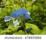 blue hydrangea flower bud is... | Shutterstock . vector #678855886
