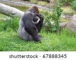 Gorilla Sitting  Thinking.