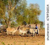 Small photo of FERLO DESERT, SENEGAL - APR 25, 2017: Unidentified Fulani boy grazes cows. Fulanis (Peul) are the largest tribe in West African savannahs