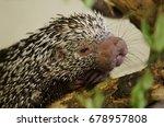close up of brazilian porcupine ... | Shutterstock . vector #678957808