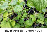 bush of blackcurrant   black... | Shutterstock . vector #678964924
