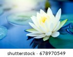 Beautiful  White Lotus Flower...