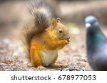 Red squirrel on gravel path in...