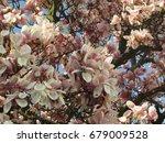 flowers of saucer magnolia ... | Shutterstock . vector #679009528