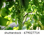 Fresh Green Grapes With Leaves...