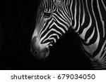 mono close up of grevy zebra... | Shutterstock . vector #679034050