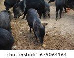 the collared peccary  pecari... | Shutterstock . vector #679064164