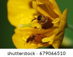 Small photo of Macro of brown, furry and pests of Caucasian beetles of Alleculidae pollen on stamens of celandine spring