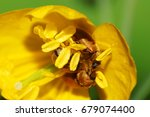 Small photo of Macro of three brown Caucasian beetles of Alleculidae polleners sitting in stamens and pollen-bearing yellow flowers of celandine