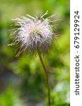Small photo of alpine pasqueflower fruit or alpine anemone, Pulsatilla alpine