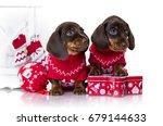 Puppy Dachshund  New Year's...