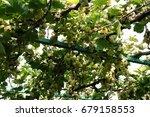 organic grapes in fall. ripe... | Shutterstock . vector #679158553