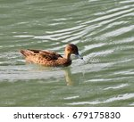 Small photo of Sunda Teal, an endemic species duck, waterbird or wader swimming in the lake at Tomohon, North Sulawesi, Indonesia. Happy wild animal in natural habitat, free and independent.