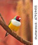 Gouldian Finch Colorful Bird