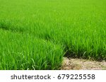 rice paddy in the farm .... | Shutterstock . vector #679225558