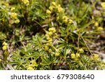 Small photo of Flowers of an alpine lady mantle, Alchemilla alpina.