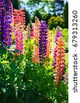 Small photo of Blooming Lupine flowers - Lupinus polyphyllus - garden or fodder plant