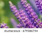 lupinus  lupin  lupine field... | Shutterstock . vector #679386754