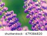 lupinus  lupin  lupine field... | Shutterstock . vector #679386820