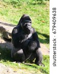 Small photo of eating alpha male of western lowland gorilla