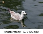 Small photo of American Herring Gull Swimming in open water.