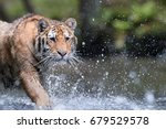 portrait of siberian tiger ... | Shutterstock . vector #679529578