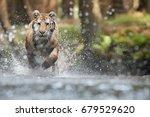 siberian tiger  panthera tigris ... | Shutterstock . vector #679529620