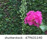 bright pink flower blooms over... | Shutterstock . vector #679631140