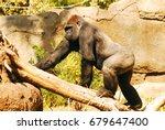 an african lowland gorilla... | Shutterstock . vector #679647400