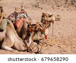 Side View Of The Camel Pair...