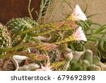 colorful cactus blooming | Shutterstock . vector #679692898