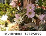 colorful cactus blooming | Shutterstock . vector #679692910