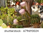 colorful cactus blooming | Shutterstock . vector #679693024