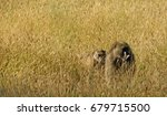 baboons on the move   these two ... | Shutterstock . vector #679715500
