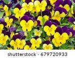 Colorful Pansies Blooming In...