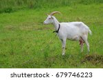 Goat Is Grazing In The Field