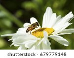 bee sitting on camomile. macro... | Shutterstock . vector #679779148