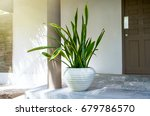 tropical plant sansevieria... | Shutterstock . vector #679786570