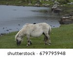 Shetland Ponies Grazing By...